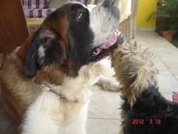 Gwen, chien Yorkshire Terrier