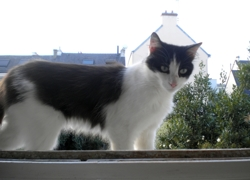 Gwen Ha Du, chat Européen