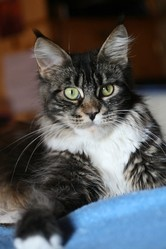 Gwen Lee, chat Maine Coon