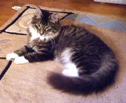 Gwendoline, chat Norvégien