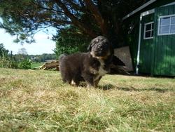 Gwendu , chien Berger australien