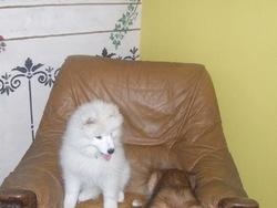 Gwendy, chien Samoyède