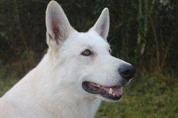 Gwenjy Du Petit Duc Victoria, chien Berger blanc suisse