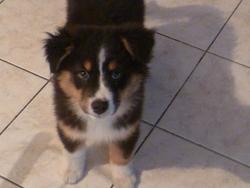 Gwenola Black Wicapi, chien Berger australien