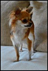 Gwenolé, chien Chihuahua