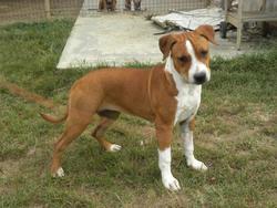 Gweto, chien American Staffordshire Terrier