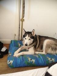 Gya, chien Husky sibérien