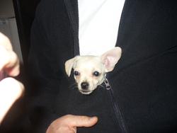 Gyina, chien Chihuahua