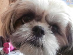 Gyna, chien Shih Tzu
