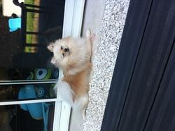 Gypse, chien Spitz allemand