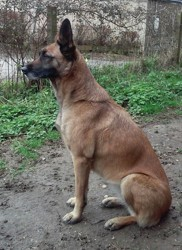 Gypsi, chien Berger belge