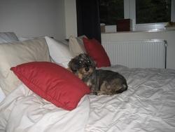 Gypsi, chien Teckel