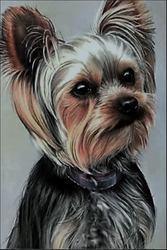 Gypsi, chien Yorkshire Terrier