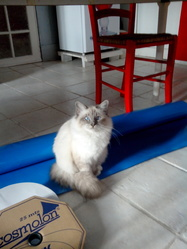 Gypsi, chat Birman