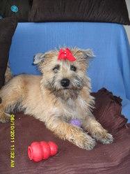 Gypsie, chien Cairn Terrier