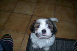 Gypsie, chien Chihuahua