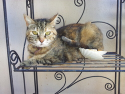 Gypsie , chat Gouttière