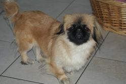 Gypsie, chien Pékinois