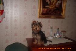 Gypsie, chien Yorkshire Terrier