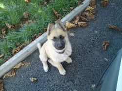 Gypsie, chien Berger allemand