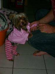 Gypsie , chien Yorkshire Terrier