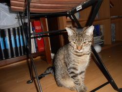 Gypsie, chat Gouttière