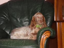 Gypsie, chien Cocker anglais