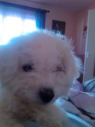 Gypsie, chien Bichon à poil frisé
