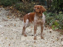 Gypsie, chien Épagneul breton