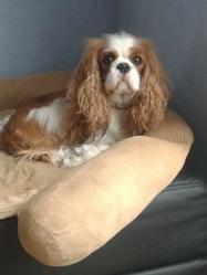 Gypsie, chien Cavalier King Charles Spaniel