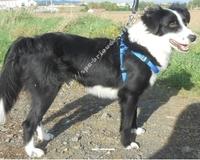 Gypsie, chien Bearded Collie