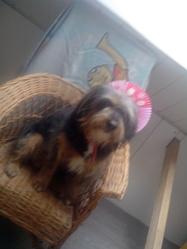 Gypsie , chien Jack Russell Terrier