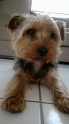 Gypsie, chien Yorkshire Terrier