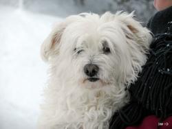 Gypsie, chien Bichon maltais
