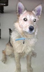 Gypsie, chien Fox-Terrier