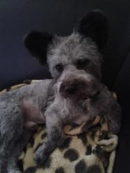 Gypso, chien Bichon à poil frisé