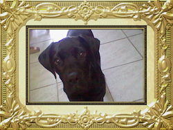Gypsy, chien Boxer