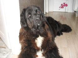 Gypsy, chien Terre-Neuve