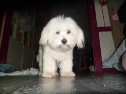 Gypsy, chien Coton de Tuléar