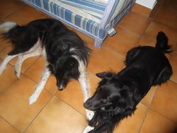 Gypsy, chien Border Collie