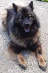 Gypsy, chien Eurasier