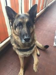 Gypsy, chien Berger allemand