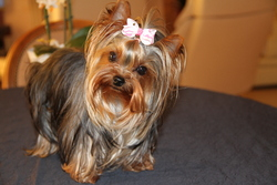 Gypsy Forever, chien Yorkshire Terrier