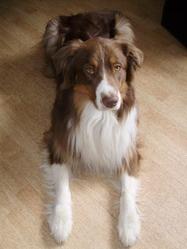 Gypsy Jade Pearl, chien Berger australien