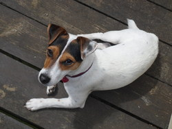 Gyptie, chien Jack Russell Terrier