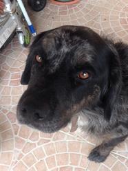 Guismo, chien Border Collie