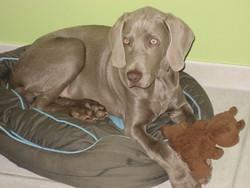 Gysmo, chien Braque de Weimar