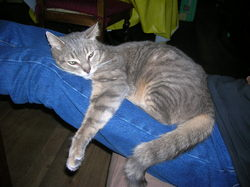 Gysmo, chat Gouttière