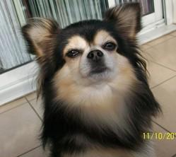 Gysmo De L'Arche Cevenole, chien Chihuahua