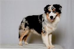 Gyut Opal Aussies, chien Berger australien